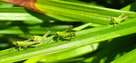 grasshoppers: tiny grasshoppers Stock Photo