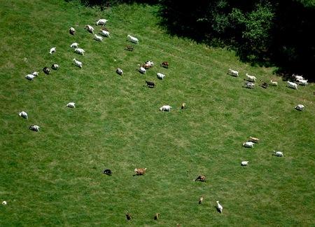 Aerial view of a heard of goats Banco de Imagens
