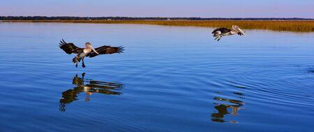 pelicans landing on water