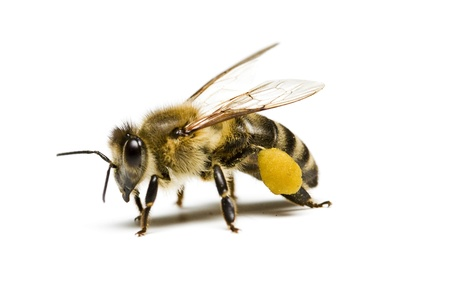 Biene Standard-Bild - 18640535