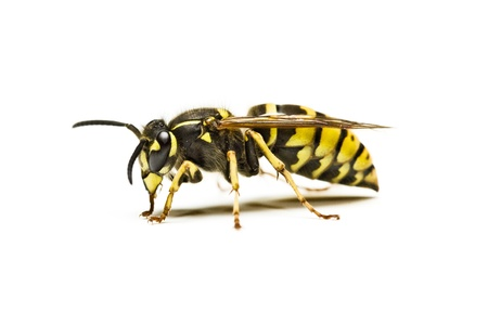 allergic reaction: Wasp