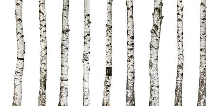 tronco: Troncos de abedul aislados sobre fondo blanco -incluyendo trazado de recorte