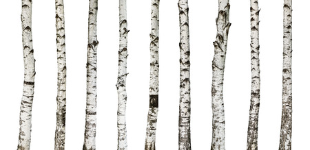 Birch trunks isolated on white background -including clipping path