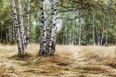 late summer: Birch trees in late summer
