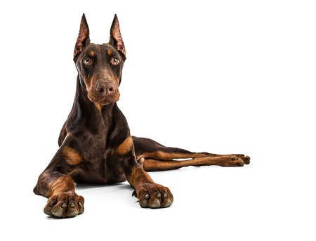 brown white: Doberman