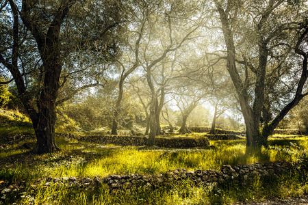 Olive field with old olive tree Corfu Greece 스톡 콘텐츠