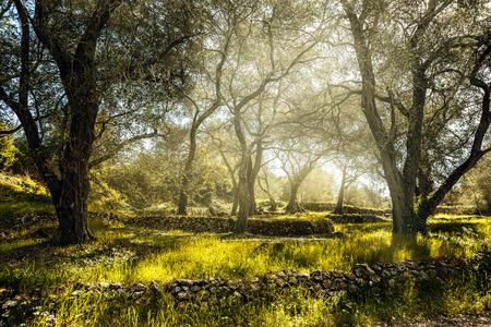 Campo de oliva con olivo Corfú Grecia