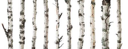 nature pattern: Birch trunks isolated on white background -including clipping path
