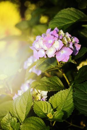 hydrangeaceae: Mophead Hydrangea - Hydrangea macrophylla Endless Summer