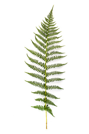 tropical plants: Green fern leaf on white background