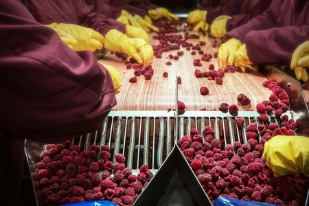 industry: Workers on the assembly line in sorting frozen raspberries Stock Photo