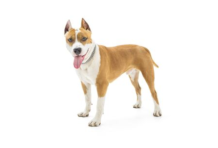 Young american staffordshire terrier isolated on white background 版權商用圖片
