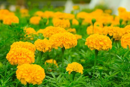 marigold: Marigold flower Stock Photo