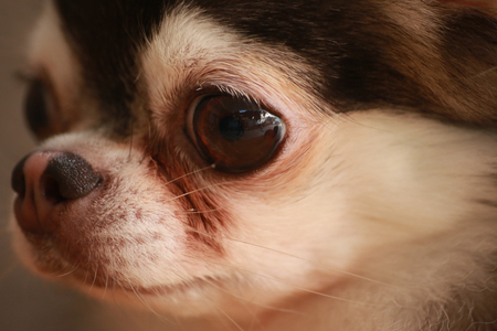 warm blooded: Dog Chihuahua close up the eye