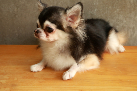 warm blooded: Dog Chihuahua