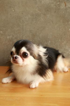 terrestrial mammal: Dog Chihuahua