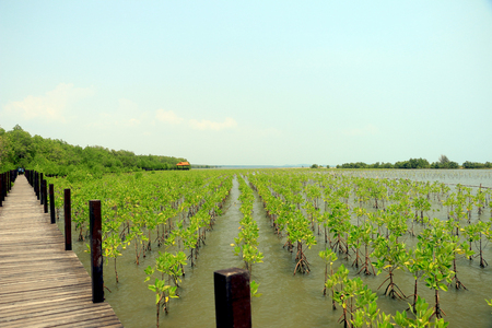 mangrove forest: Footpath on the mangrove forest