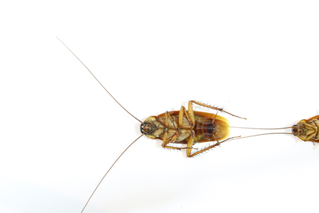 filth: Cockroach on the white background Stock Photo