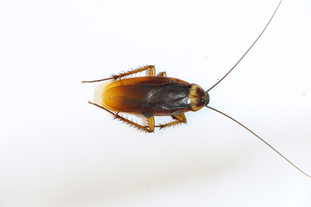 Cockroach on the white background Stock Photo
