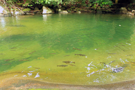 salmon migration: Shoal of fish in the waterfall Stock Photo