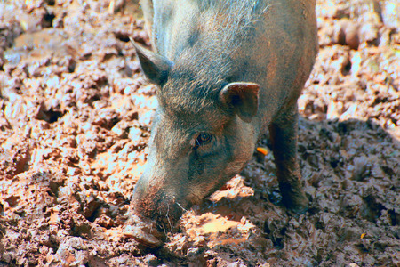 Wild boar in the forest mud under the heavy sun light Stock Photo
