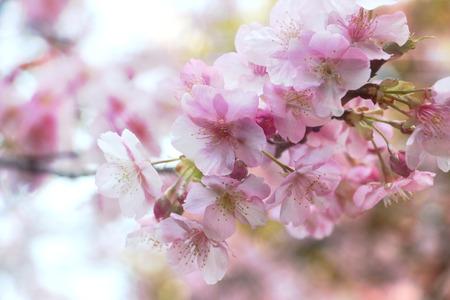 flor de sakura: flor Sakura bajo la luz del sol