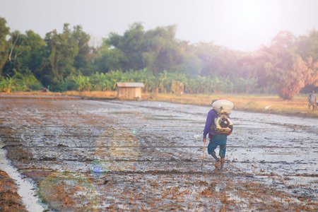 old farmer: Rice field preparation by old farmer before transplant Stock Photo