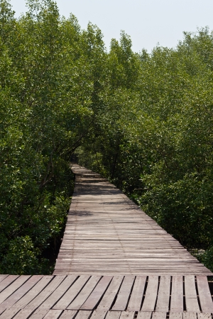 Nature walk in the mangrove forest in Thailand. photo