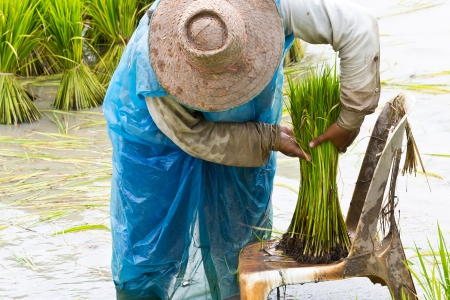 withdrawing: Rice farmers are withdrawing the seedlings to transplanting
