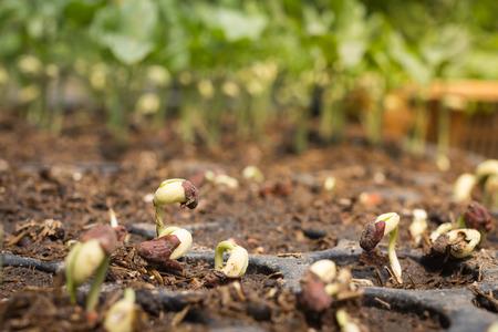 germinaci�n: La germinaci�n de semillas de plants.germinated en el campo Foto de archivo