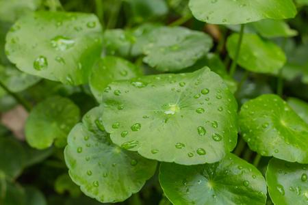 asiatica: Centella asiatica and water drops