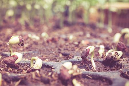 germinaci�n: germinaci�n de las semillas de plants.germinated en el campo