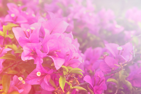 color bougainvillea: beautiful Bougainvillea flowers horizontal background made with color filters Stock Photo