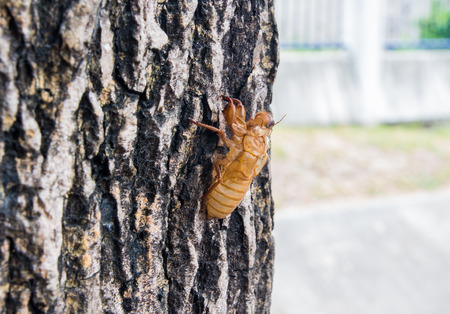 cast off: Cicada Hemiptera: Cicadidae moult hanging from a tree
