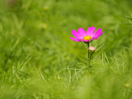 Closed-up of beatiful magenta flower with green grass background Stock Photo