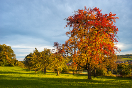 apfelbaum: Landscape with apple tree in autumn, Althengstett, Black Forest, Baden-Wuerttemberg, Germany, Europe
