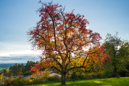 albero mele: Landscape with apple tree in autumn, Althengstett, Black Forest, Baden-Wuerttemberg, Germany, Europe