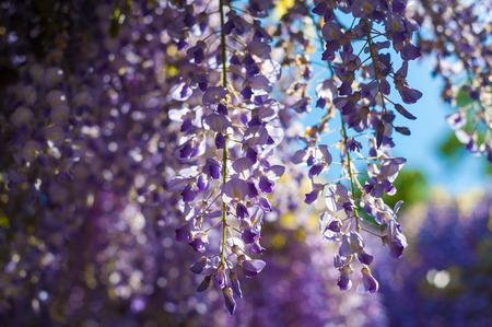 sinensis: Wisteria sinensis in the garden