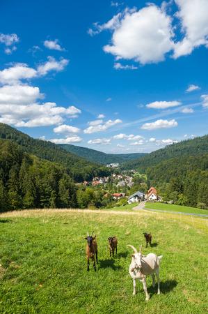 hircus: Goats, Capra aegagrus hircus, in the upper Gaistal in Bad Herrenalb. Black Forest, Baden-Wurttemberg, Germany, Europe Stock Photo