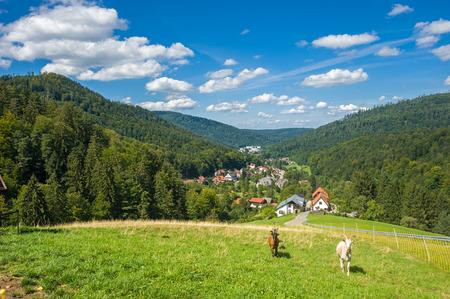 cabra: Cabras, Capra hircus aegagrus, en el Gaistal superior en Bad Herrenalb. Bosque negro, Baden-Wurttemberg, Alemania, Europa