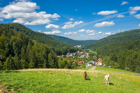 Goats, Capra aegagrus hircus, in the upper Gaistal in Bad Herrenalb. Black Forest, Baden-Wurttemberg, Germany, Europe Standard-Bild