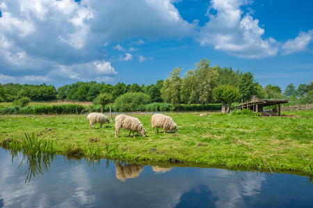 Skudden sheeps at the lake wallsee in Oldenburg Holstein at the Baltic Sea