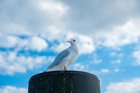 Seagull is sitting on a bollard in the harbor of Niendorf at the Baltic Sea Stockfoto