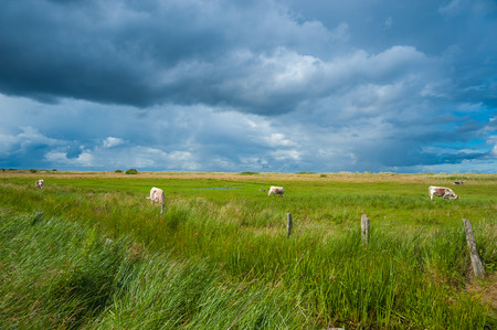 Landscape of the nature reserve Salt meadows with cows in the bay of Hohwachter Bucht near Behrensdorf at the Baltic Sea Stock Photo