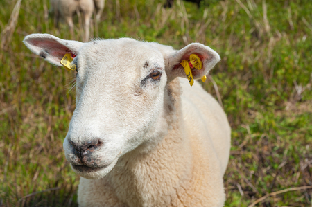 BEHRENSDORF, GERMANY - JULY 12, 2012: Domestic sheep in the nature reserve of salt meadows near the bay Hohwachter Bucht at the Baltic Sea