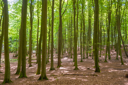 Beech forest in the National Park Jasmund near Sassnitz on the island of Rugen Stock Photo