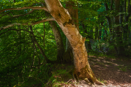 Beech forest in the National Park Jasmund near Sassnitz on the island of Rugen Banco de Imagens