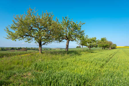 Agricultural landscape with apple trees in Walzbachtal-Johlingen in the Kraichgau in Germany
