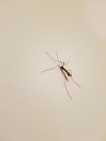 Big mosquito on a wall