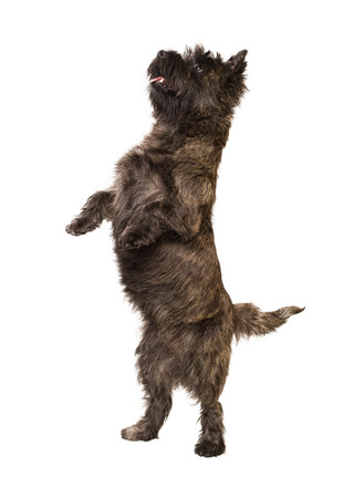 cairn: Cairn Terrier standing on two legs